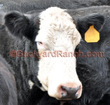 Animal identification- black angus cow with a yellow ear tag.