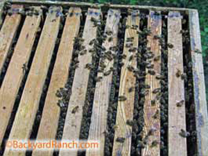Bees in langsroth hive