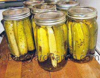 Kosher dill pickles cooling.
